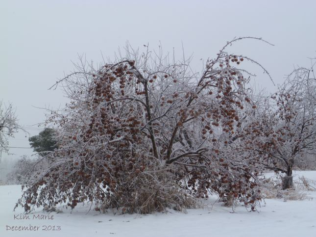 Photo of apple tree frozen ... with the apples still on it.