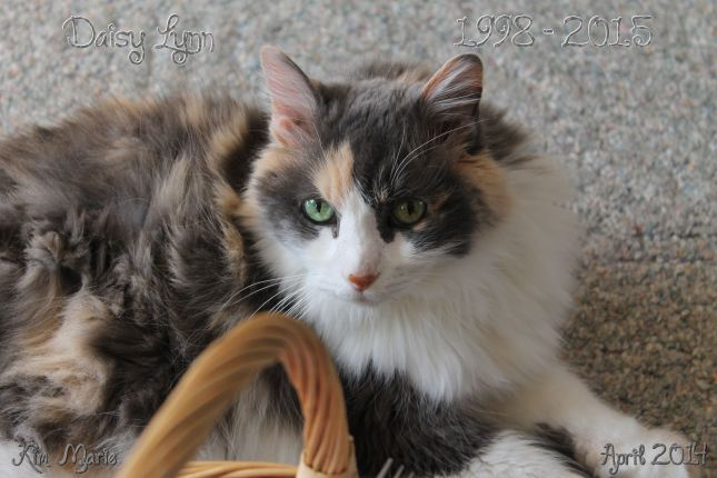 A most beautiful and silky pale calico kitty looking up from the floor next to a basket.