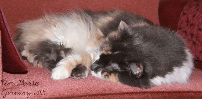 Calico cat on mauve chair, sleeping, her arm over her foot.