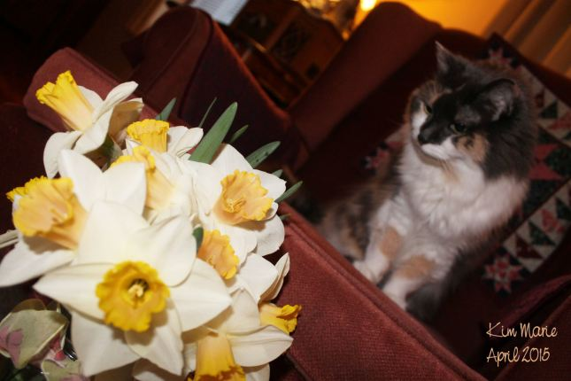 Diluted calico cat sitting up on a chair staring down at a bouquet of daffodils.