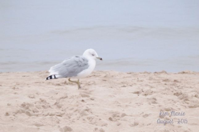 A seagull walking on the beach with Lake Michigan in the background.