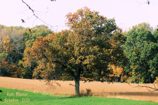 A free in a field in slight autumn colors, but still mostly gren. In front of the tree is green hay. Behind the tree is a cut corn field - all golden yellow. A row of slightly turning trees along the back edge of the photo.